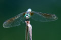 Dragonfly Blue Dasher Royalty Free Stock Photo - 43000345