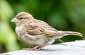 House Sparrow Royalty Free Stock Photography - 43005567