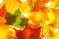 Maple Leaves As Background Stock Photo - 43006110
