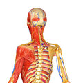 Muscles And Skeleton Stock Image - 43014321