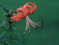 Tiger Lily Or Lilium Superbum In Full Bloom Royalty Free Stock Photos - 43024548