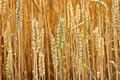 Golden Ears Of Wheat. Royalty Free Stock Photography - 43028627