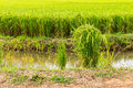 Green Rice Plants Royalty Free Stock Photo - 43037465
