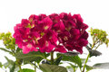 Red Hydrangea Royalty Free Stock Photography - 43037477