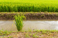 Green Rice Plants Royalty Free Stock Photography - 43038767
