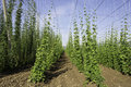 Hop Crop Rows And Blue Sky Royalty Free Stock Image - 43044996