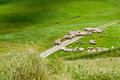 Free Sheep On A Green Field In A Summer Day In Tuscany, Italy Royalty Free Stock Photography - 43049697
