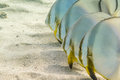 Batfish In A Row Royalty Free Stock Images - 43063079
