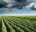Soybean Next To Corn Field Ripening At Spring Season, Agricultural Landscape. Royalty Free Stock Images - 43075899