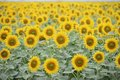 Sunflower Field Royalty Free Stock Image - 43083216