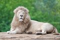 White Lion Royalty Free Stock Images - 43083609