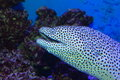 Black- Spotted Moray Royalty Free Stock Photography - 43093187