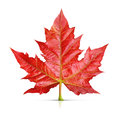 Red Maple Leaf Isolated Royalty Free Stock Photo - 43097695