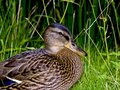 Duck Royalty Free Stock Image - 4312536