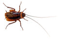 Cockroach Royalty Free Stock Photo - 43100425