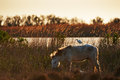 Camargue Horse With Cattle Egret Stock Photography - 43104132