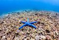 Blue Starfish On A Badly Damaged Coral Reef Stock Photography - 43109802