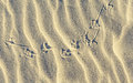 Background Of Sand Ripples At The Beach With Prints Of Birds F Royalty Free Stock Images - 43110659