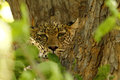 Camouflaged Big Cat Royalty Free Stock Photography - 43136797