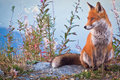 Portrait Of A Fox: A Friendly Poser Royalty Free Stock Image - 43174616