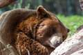 Adult Brown Bear Royalty Free Stock Image - 43180086