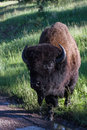 Adult Male Bison Or Bufalo Royalty Free Stock Photo - 43180415