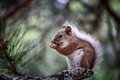 Cute Squirrel Eating Stock Photography - 43186292
