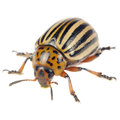 Colorado Potato Beetle Isolated On White Background Stock Photos - 43189933