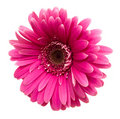 Pink Gerbera Isolated On White Stock Image - 4326411