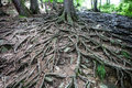 Old Tree With Large Spreading  Roots Stock Photos - 43218033