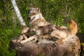 Grey Wolf (Canis Lupus) And Pups Lie On Rock Together Stock Photos - 43219603