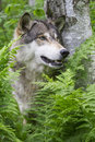 Vertical Wolf Portrait In Green Ferns Royalty Free Stock Images - 43223409
