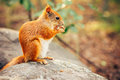 Squirrel Red Fur With Nuts Royalty Free Stock Photos - 43239108