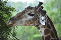 Giraffe Portrait Royalty Free Stock Images - 43239229