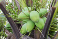 Pile Of Green Coconuts Stock Photos - 43255053