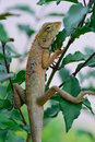 Side View  Of Oriental Garden Lizard (Calotes Mystaceus) Hanging Royalty Free Stock Photography - 43257697