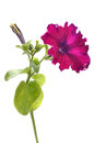 Purple Petunia Flower Royalty Free Stock Photography - 43258027