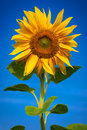 Sunflower Royalty Free Stock Photography - 43265067