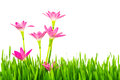 Beautiful Pink Flowers And Fresh Spring Green Grass Isolated On Stock Photography - 43282072