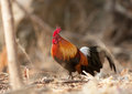 Females Red Jungle Fowl Royalty Free Stock Image - 43286816