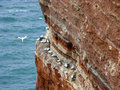 Northern Gannets On Cliff, Heligoland, Germany Royalty Free Stock Images - 43304599