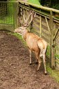 Adult Deer Royalty Free Stock Photography - 43313777