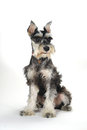 Cute Miniature Schnauzer Puppy Dog On White Background Royalty Free Stock Photos - 43313778