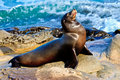 Sea Lion Stock Images - 43316564
