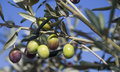 Olive On Branch Stock Images - 43324264