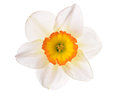 Flower Narcissus Royalty Free Stock Image - 43326706