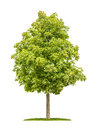 Horse Chestnut Tree On A White Background Royalty Free Stock Photography - 43333777