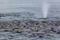 Close-up Of Whale Spout In Midst Sea Lion Pod Royalty Free Stock Images - 43335699