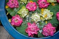 Water Lilies In A Blue Pot Stock Photography - 43361492