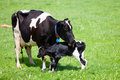 Cow With Newborn Calf Royalty Free Stock Photography - 43364227